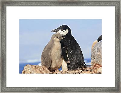 Chinstrap Penguin With Chick Framed Print