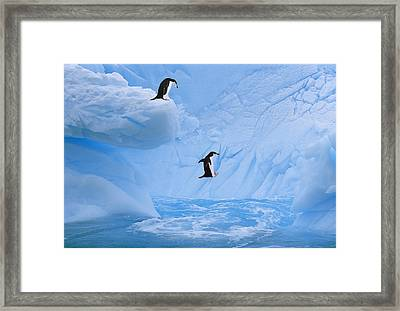 Chinstrap Penguins Jump Into Ocean From Framed Print by Johnny Johnson