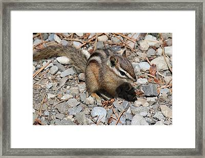 Framed Print featuring the photograph Chipmunk by Ann E Robson