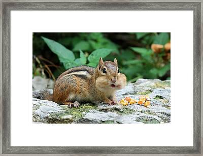 Chipmunk Cheeks Framed Print by Nikki Vig