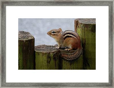 Framed Print featuring the photograph Chipmunk by Kathy Gibbons
