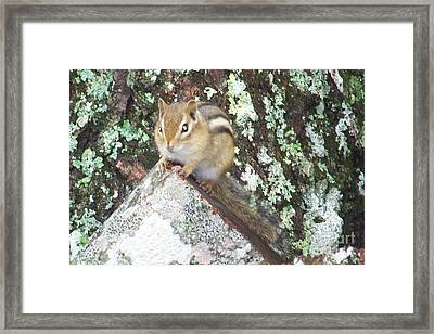 Chipmunk On A Log Framed Print by Joseph Marquis