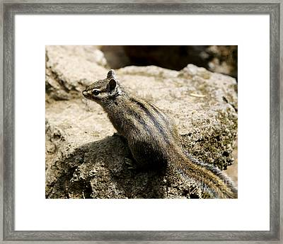 Framed Print featuring the photograph Chipmunk On A Rock by Belinda Greb