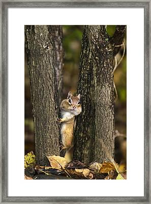 Chipmunk Peek A Boo Framed Print by Christina Rollo