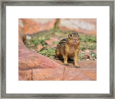 Chipmunk Framed Print by Robin Williams