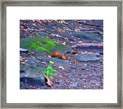 Chipmunk Scrounging Amoung The Rocks Framed Print by Matthew Peek
