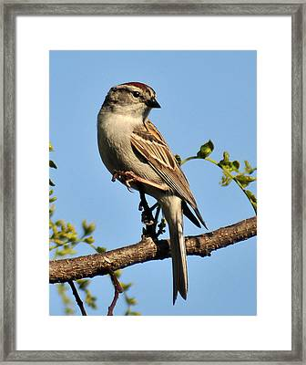 Chipping Sparrow 246 Framed Print