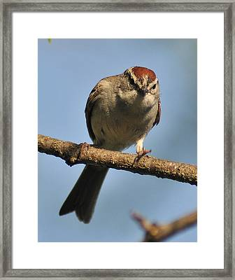 Chipping Sparrow 265 Framed Print