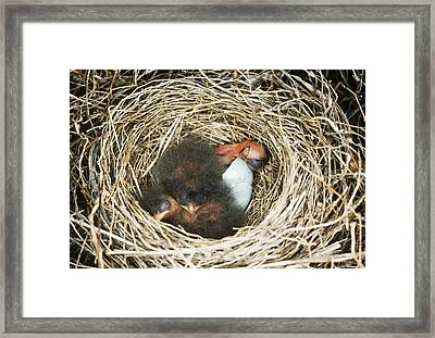 Chipping Sparrow Hatchlings Framed Print