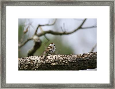 Chipping Sparrow In A Tree Framed Print