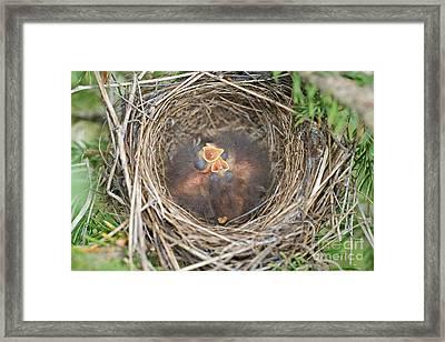 Chipping Sparrow Nestlings Framed Print