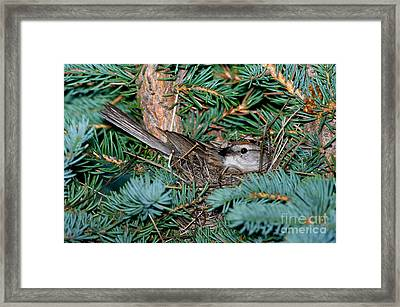 Chipping Sparrow On Nest Framed Print