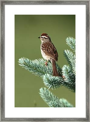 Chipping Sparrow (spizella Passerina Framed Print