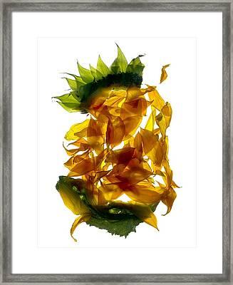 Chiquita Sunflower Framed Print