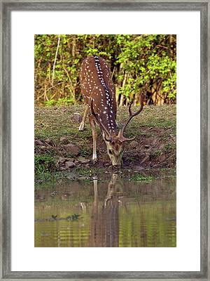 Chital Stag Drinking At The Waterhole Framed Print by Jagdeep Rajput