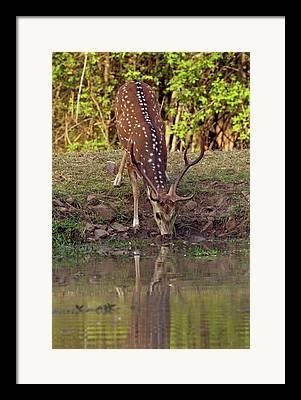 Deer Drinking Water Framed Prints