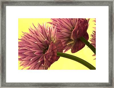 Chive Macro Beauty Framed Print by Sandra Foster