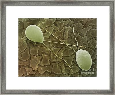 Chlamydomonas, Sem Framed Print by Andrew Syred