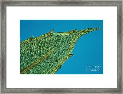 Chloroplasts On Moss Framed Print by Nuridsany et Perennou
