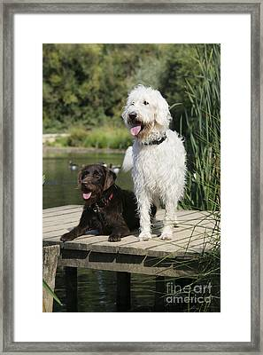 Chocolate And Cream Labradoodles Framed Print