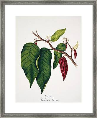 Chocolate Cocoa Plant Framed Print by Natural History Museum, London/science Photo Library