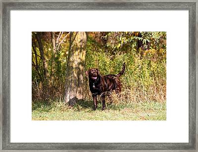 Chocolate Lab Cuteness Framed Print