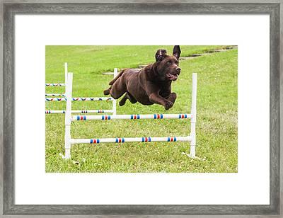Chocolate Lab Jumping Agility Jump Framed Print