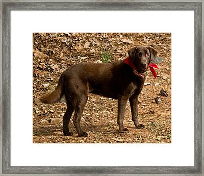 Chocolate Lab Framed Print