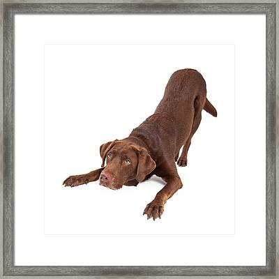 Chocolate Labrador Dog Bowing And Looking Up Framed Print