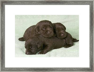 Chocolate Labrador Puppies Framed Print by Jean-Michel Labat