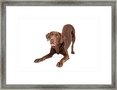 Chocolate Labrador Retriever Dog In Downdog Postion Framed Print by Susan Schmitz