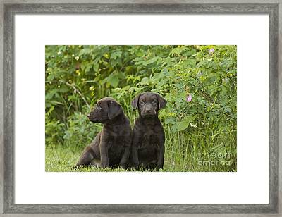 Chocolate Labrador Retriever Puppies Framed Print by Linda Freshwaters Arndt