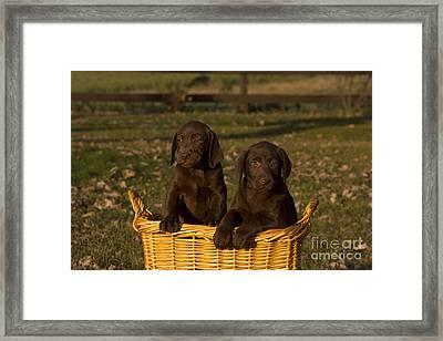 Chocolate Labrador Retriever Pups Framed Print by Linda Freshwaters Arndt