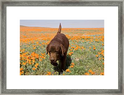 Chocolate Labrador Retriever Walking Framed Print by Zandria Muench Beraldo