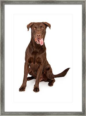 Chocolate Labrador Retriever With Tongue Out Framed Print by Susan Schmitz
