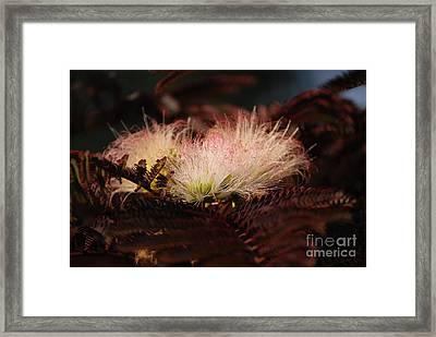 Chocolate Mimosa Flower Framed Print
