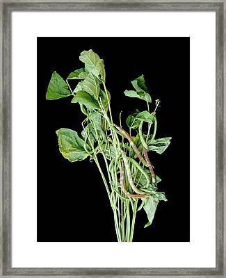 Chocolate Pod Disease In Snap Beans Framed Print