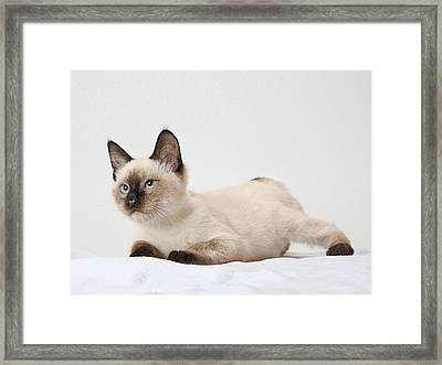 Chocolate Point Siamese Framed Print