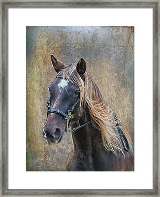 Chocolate Rocky Mountain Horse Framed Print by Peter Lindsay