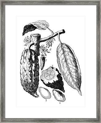 Chocolate Theobroma Cacao Framed Print