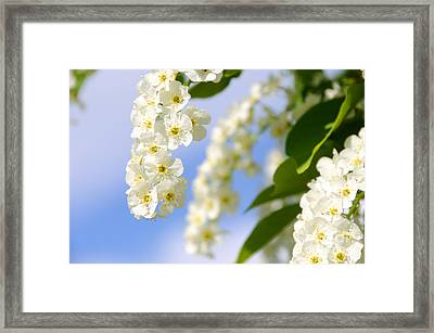 Choke Cherry In Bloom Framed Print by Gary Whitton