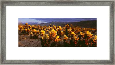 Cholla Cactus At Sunset, Joshua Tree Framed Print by Panoramic Images