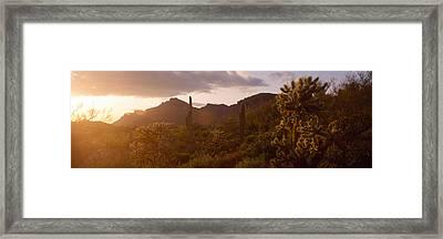 Cholla Cactus In A Field, Phoenix Framed Print