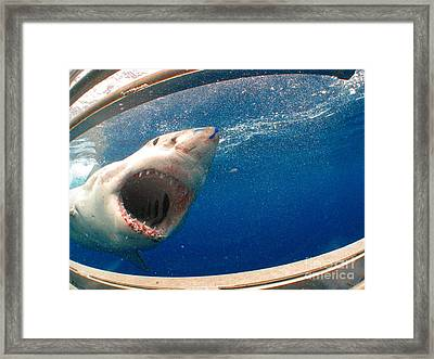 Chompy Framed Print by Crystal Beckmann