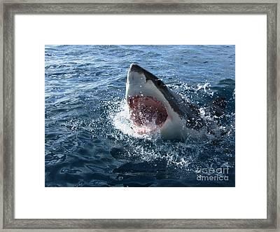 Chompy White Shark Framed Print by Crystal Beckmann