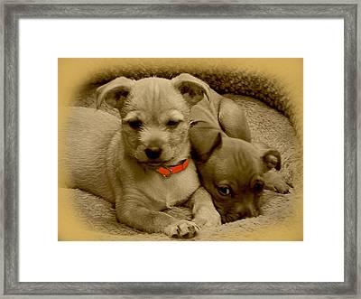 Chorkies Framed Print