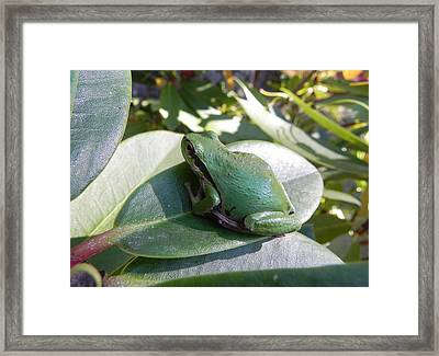 Chorus Frog On A Rhodo Framed Print by Cheryl Hoyle