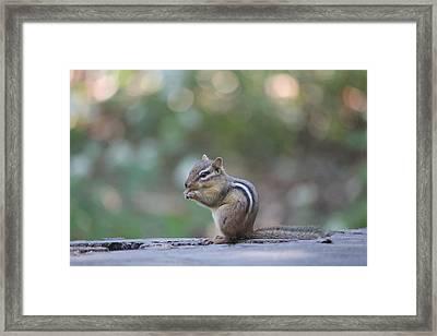 Chowing Chipmunk Framed Print