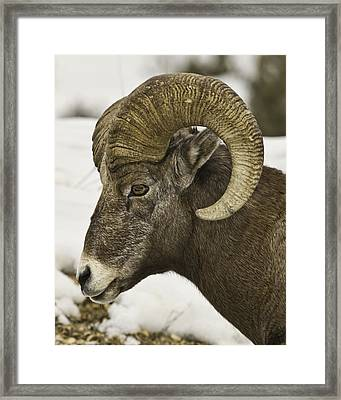 Christmas Big Horn Framed Print