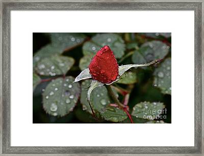 Christmas Bud Framed Print